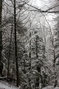 Snow covered Alpine forests