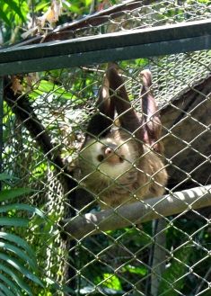 Two toed sloth, Zoologica Simon Bolivar