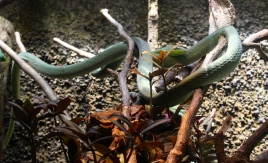 Beguquilla Verde snake