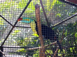 Keel-billed toucan, Zoologica Simon Bolivar