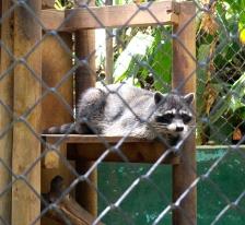 Racoon, Zoologica SimonBolivar