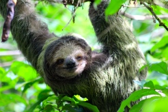 Three-toed sloth - La Selva Biological Reserve