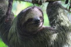 Three-toed sloth - La Selva Biological Reserve