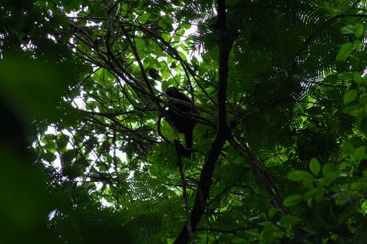 Spot the Mantled Howler Monkey