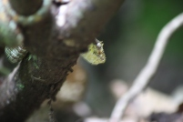 Eyelash viper - again hand shaking too much as had to get pretty close!