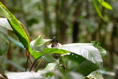 Hummingbird mum and chick