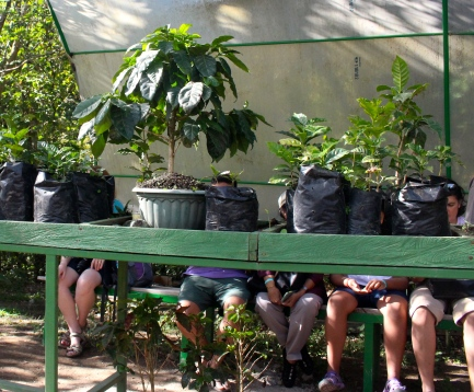 The new human leg variety of coffee plant
