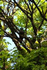Curi Cancha Reserve - Female Quetzal