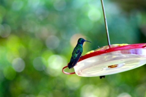 Green Violetea Hummingbird