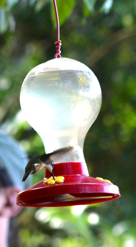 Magenta-throated Woodstar Hummingbird