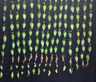 Butterfly cocoons - La Selvatura Park