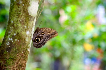 Great Owl Butterfly