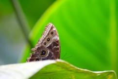 Blue Morpho Butterfl