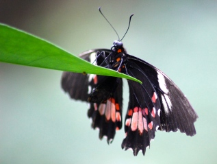 Ruby-spotted Swallowtail Butterfly