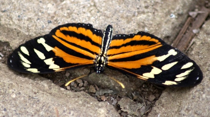 Tiger Heliconian Butterfly