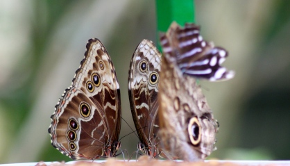 Blue Morpho & Blue-Banded Purplewing butterflies