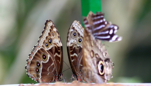 Blue Morpho & Blue-Banded Purplewing butterflies