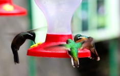 Mountain-gem & Stripe-tailed Hummingbirds