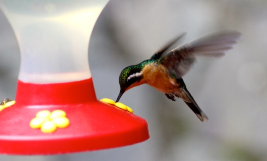Mountain-gem hummingbird