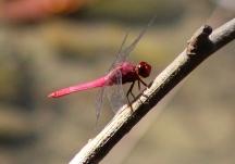 Red-faced dragonlet? or Central American Redskimmer