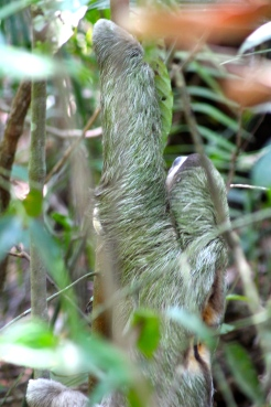 Three-toed sloth - markings on its back show its male