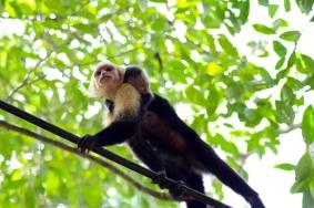 White throat capuchin monkey & baby