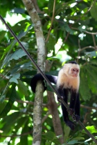 White throat capuchin monkey