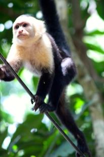 White throat capuchin monkey