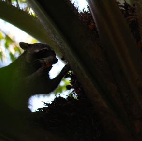 Northern racoon