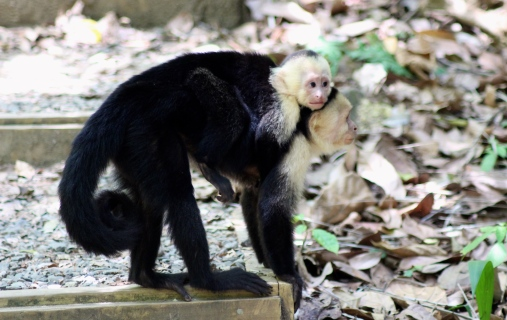 White throat capuchin monkey & baby