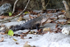 Iguana on Gemelas beach