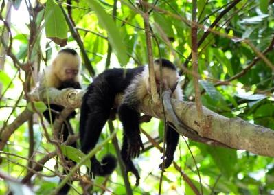 White throat capuchin monkeys