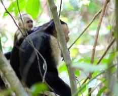 White throat capuchin monkey and baby