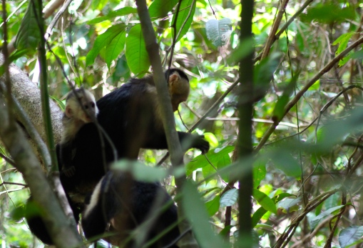 White throat capuchin monkey and baby