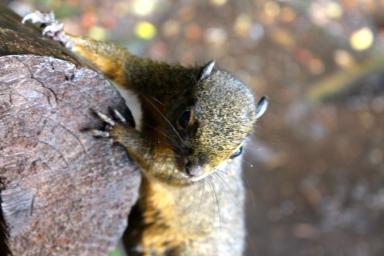 Squirrel - Poas Volcano