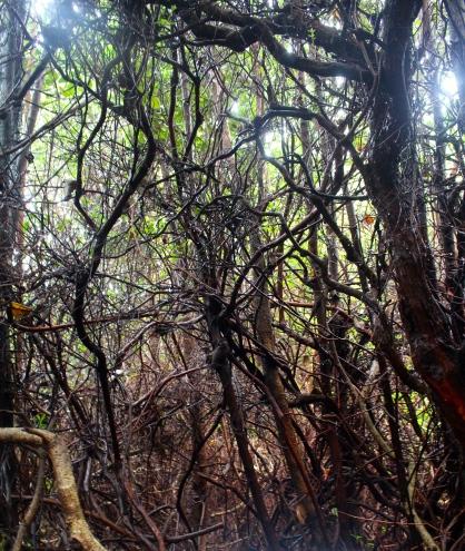 Volcanic forest - Poas Volcano