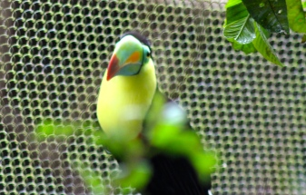 Keel-billed toucan - La Paz Waterfall Gardens