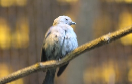 Blue-Grey Tanager?