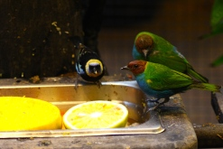 Golden-hooded Tanager & Orange-Collared Manakin?