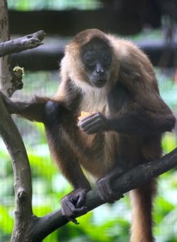 Spider monkey - ooh matron look