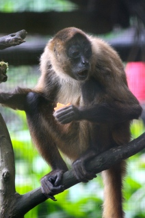 Spider monkey - definitely found something shocking