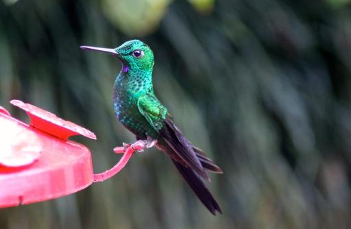 Stripe-tailed hummingbird?