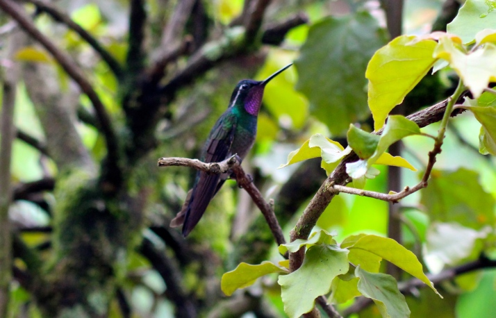 Purple-throated mountain gem hummingbird