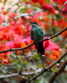 Green-crowed brilliant hummingbird