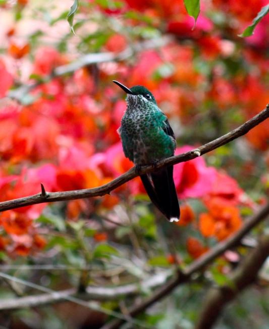 Green-crowed brilliant hummingbird