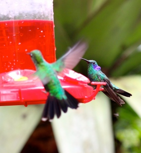 Green Violetear & Green crowned brilliant hummingbirds