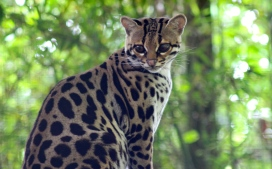 Margay Tree Ocelot