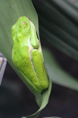 Gaudy/ Red-Eyed Leaf Frog