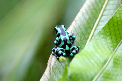 Black & Green Dart Frog
