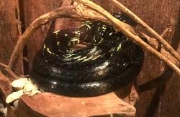 Chicken/ Yellow Rat Snake